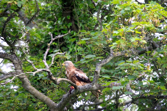 Rare but welcome visitor - Red Kite
