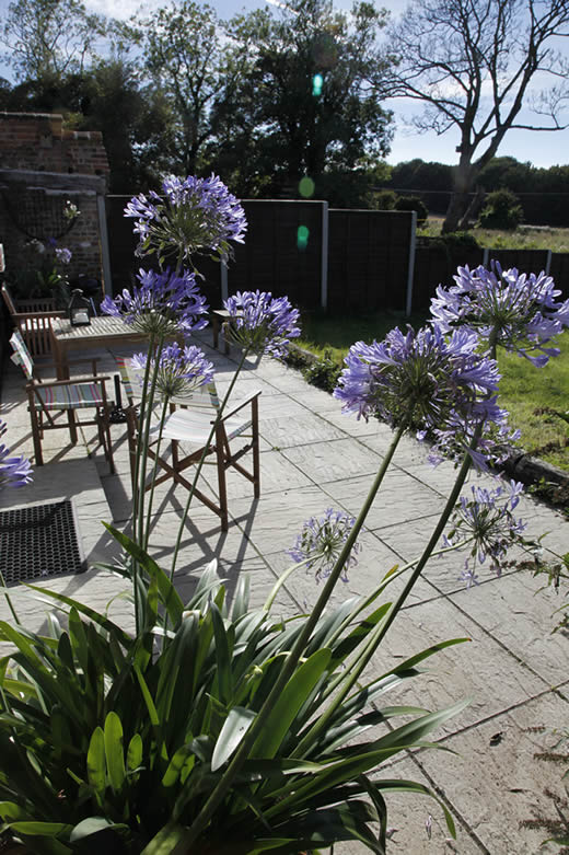 The Agapanthus plant on the patio at Old Beans Cottage